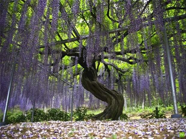 Сад Цветов Кавати Фужи (11 фото)