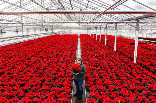 Тысячи цветущих пуансеттий в британском питомнике