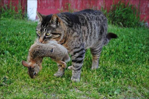 Белорусские власти потребовали объяснений от хозяина ловившей зайцев кошки видео, животные, юмор