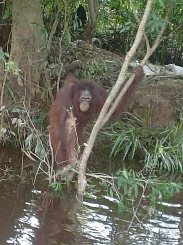 История орангутана Пони, которая 6 лет провела всексуальном рабстве наострове Борнео