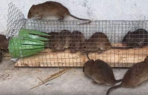 Борьба с грызунами: как сделать простую, но очень эффективную ловушку для крыс