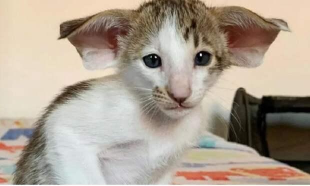 Ушастого и зубастого котенка путают с летучей мышью и не хотят брать в семью