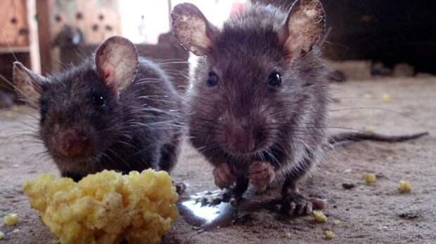 Крысы живут в порту постоянно. /Фото: gtrk.tv.