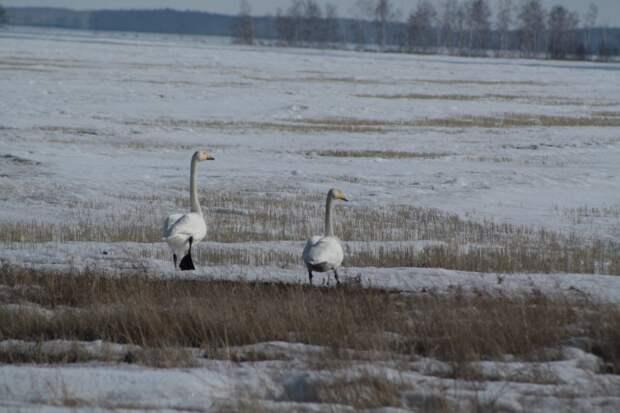 Сложная зима для сибирских косуль