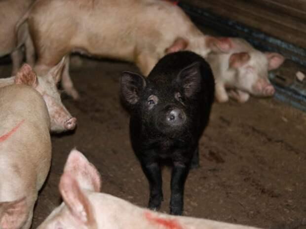 Владельцам изъятых из-за АЧС свиней в Забайкалье выплатят 27,6 млн рублей