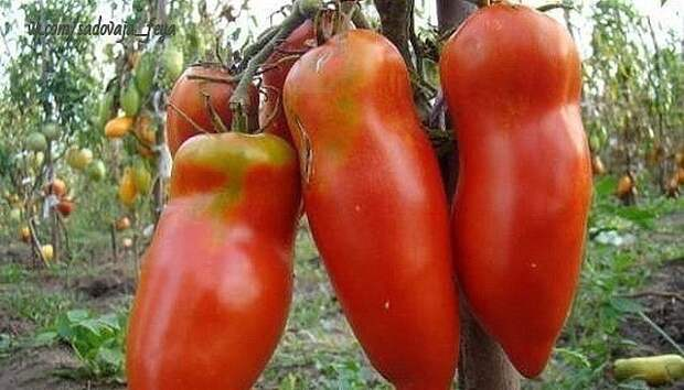 Фитофтора: как избавить томаты от злостного недуга