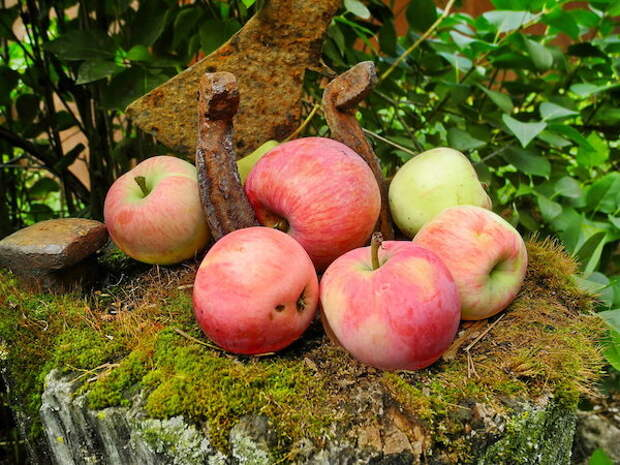 Пять проверенных сортов яблони для московской области
