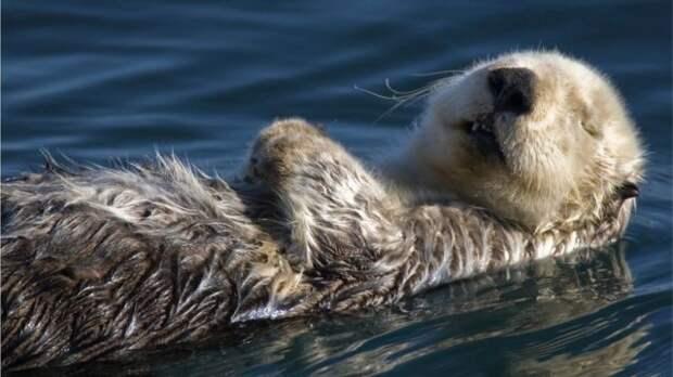 Морская выдра спит