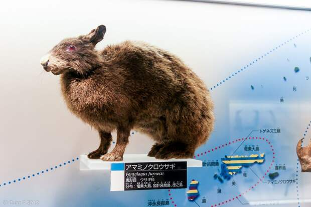 Японский древесный заяц