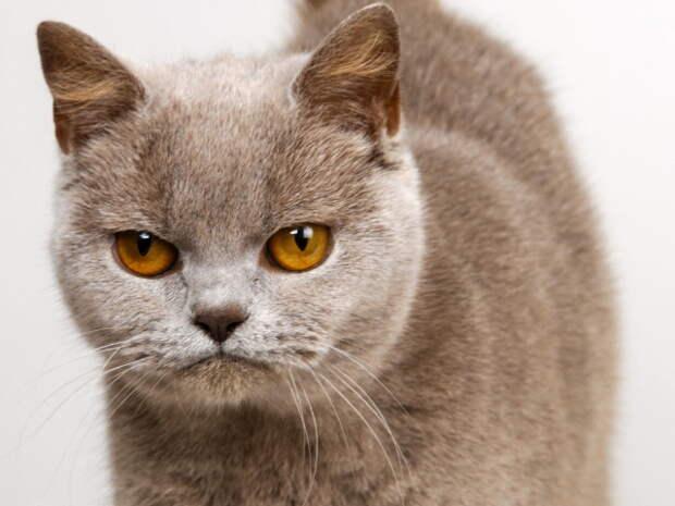 сердитый кот Животные animals HD 804324842