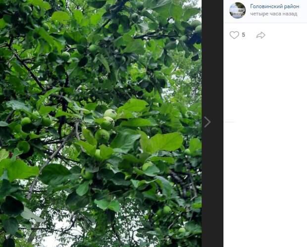 Фото дня: мини-яблоки в Головинском