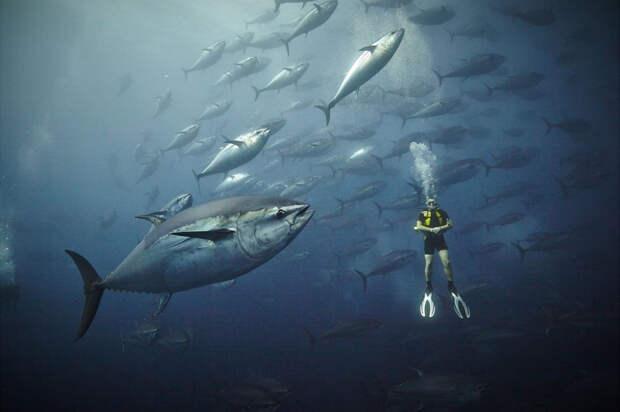 Атлантические тунцы