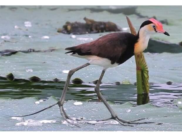Австралийская Якана: Почему у этих птиц 5 пар конечностей?