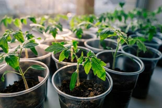 Обеспечьте каждому саженцу томата достаточно места для нормального роста, развития и разветвления