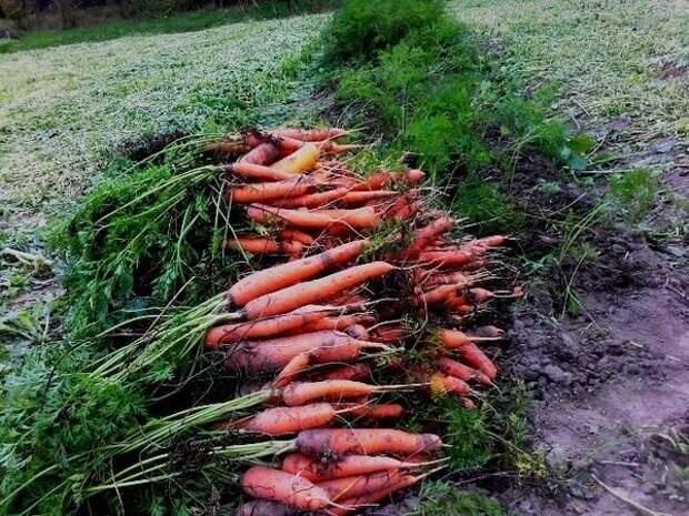 Урожай моркови сорта Нантская. Автор фото Тата