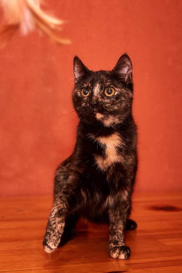 Такая необыкновенная кошечка будет самым нежным и близким другом своему хозяину!