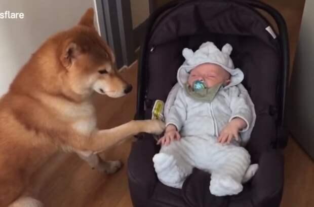 Пес впервые увидел младенца и удивил хозяев своим поступком