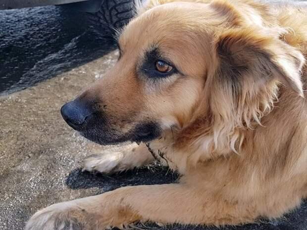 Хозяин высадил собаку из машины и уехал. Она бежала за авто не осознавая, что ее бросили