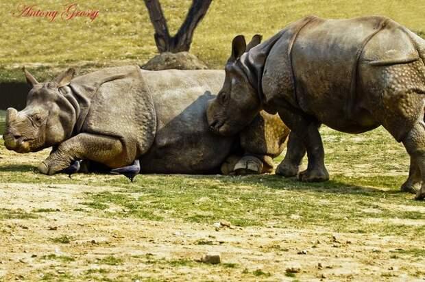 носороги, наука, животные
