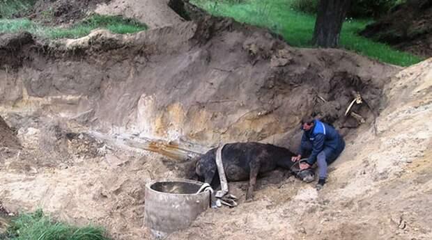 Лошадь оказалась в тесной затопленной ловушке… Достать её было очень сложно!
