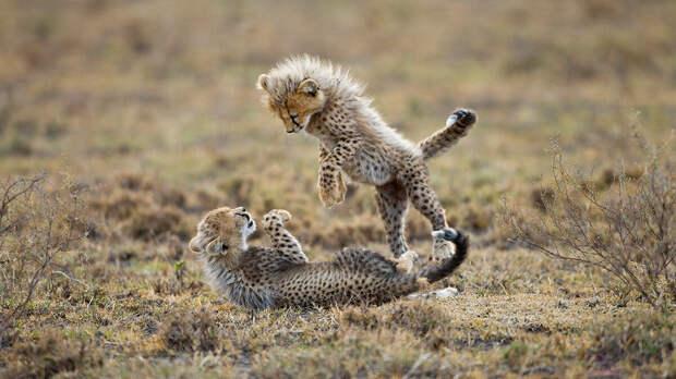 Несмотря на свою силу и превосходство, гепарды отступают перед такими хищниками, как собакоподобные гиены, львы и даже леопарды.