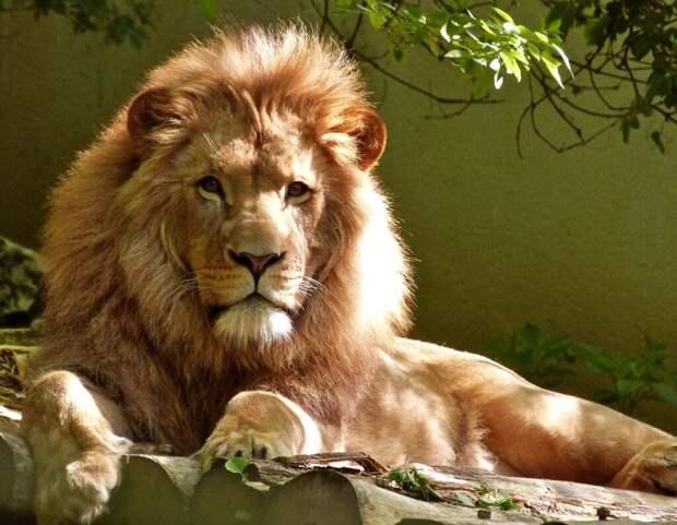 В ЮАР запустили экстремальное развлечение: зоопарк, в котором люди в клетке, а львы на свободе