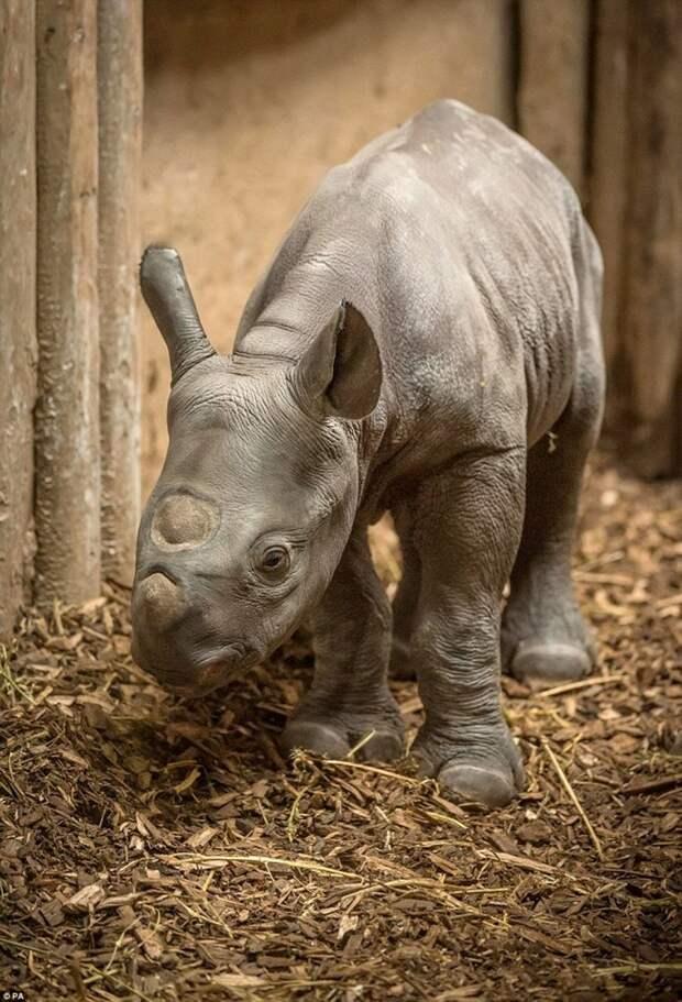 В зоопарке Честера очень редкий носорог шокировал посетителей, внезапно родив детеныша