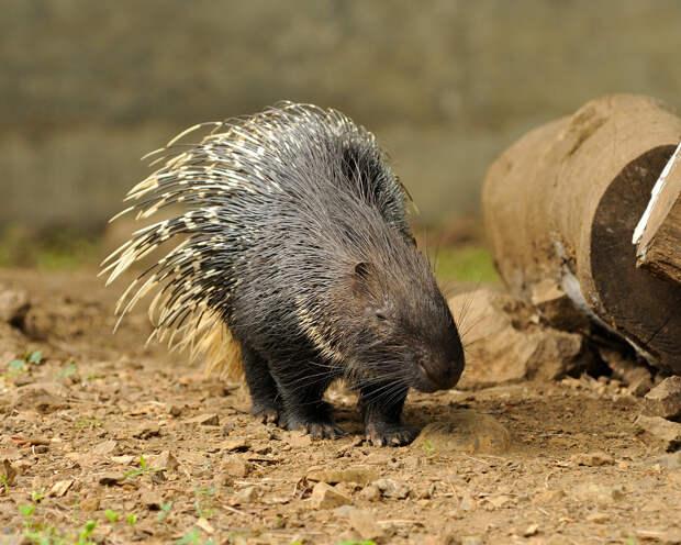 Хохлатый дикобраз отпугивает врага своими длинными иглами — видоизменёнными волосами, покрытыми слоями твёрдого кератина. Если это не помогает, животное применяет более короткие спинные иглы, которые легко ранят плоть недруга. (JanetandPhil)