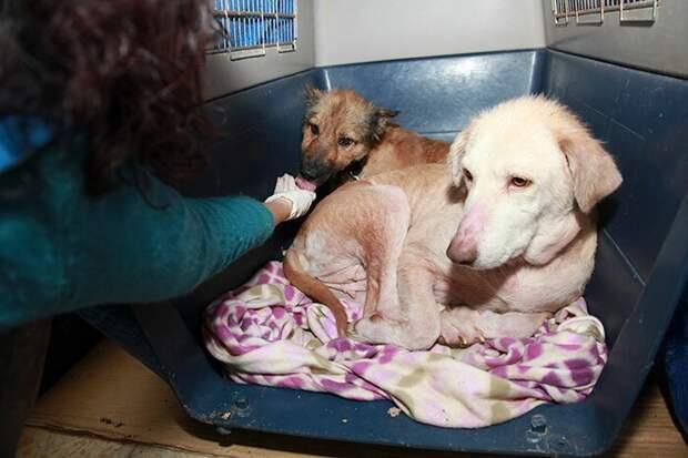 Постепенно обе собаки начали поправляться, но впереди был еще долгий путь в мире, голод, доброта, животные, люди, собака, спасение