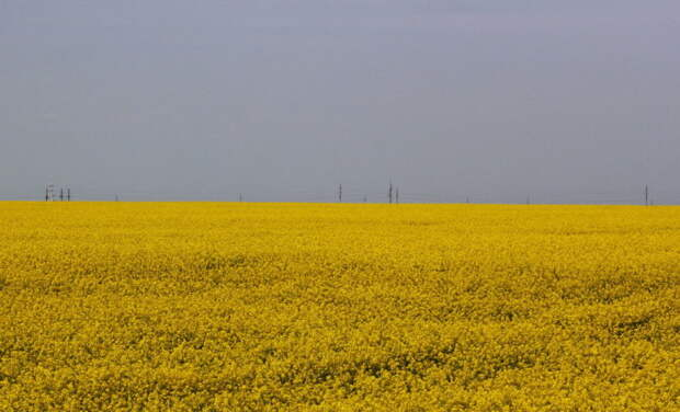 Рапсовое масло – основное сырье для биодизельного топлива. | Фото: padarozhnik.com.