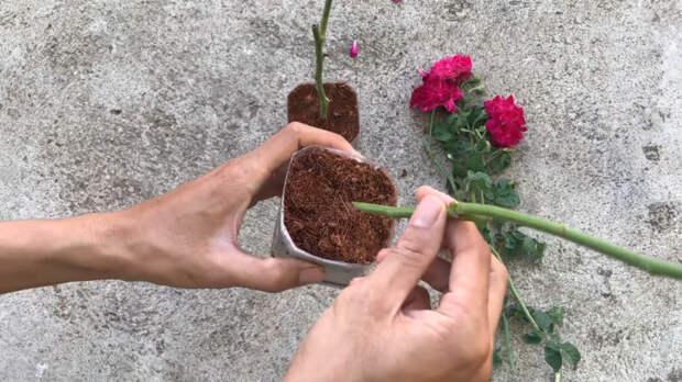 Кусочек алоэ для отличного укоренения черенка розы