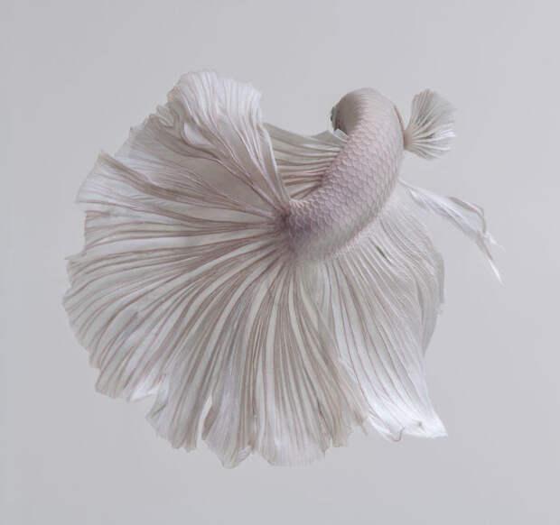 Потрясающие аквафотографии аквариумных рыбок