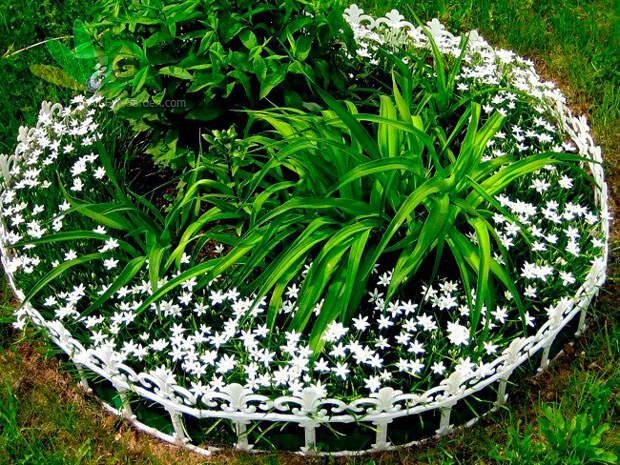 Многолетний садовый цветок Птицемлечник (Ornithogalum)