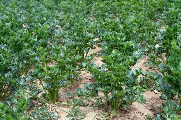 Черешковый, корневой и листовой сельдерей: посадка, выращивание, уход, фото. Польза сельдерея. Посадка и уход.