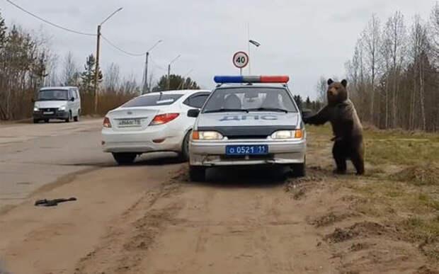 Медведь-попрошайка атаковал автомобиль ДПС