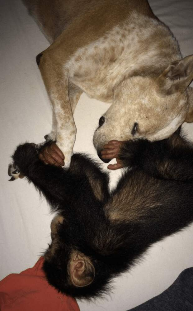 Сиротка-шимпанзе обрел необычную, но заботливую маму