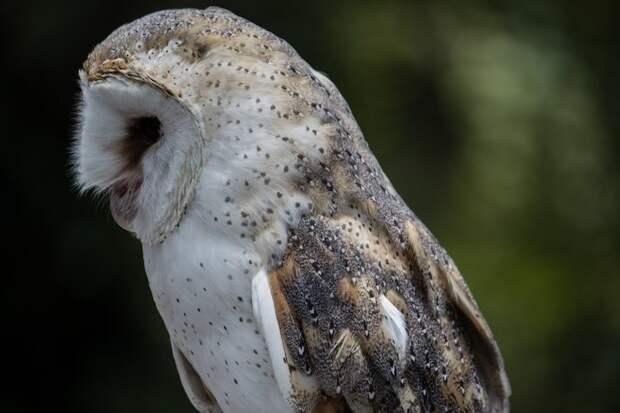 Амбарная сова — птица с великолепным оперением, которое напоминает о еде
