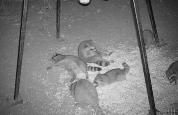 Личная жизнь енотов: папарацци со скрытой камерой не дают покоя лесным животным
