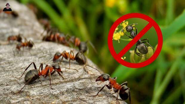 Почему надо бороться с муравьями
