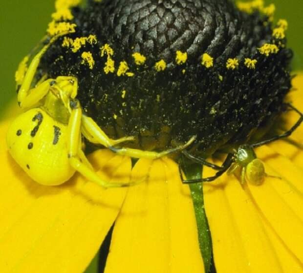 пауки, способные изменять окраску своего тела