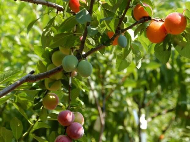 Дерево-сад — как создать многосортовое или мультиплодное дерево