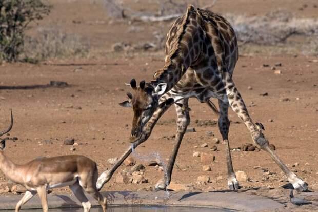 Жираф случайно устроил птичке освежающий душ