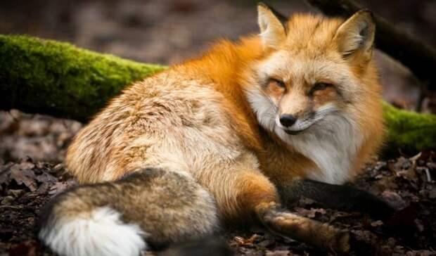 Труп бешеной лисицы нашел у себя во дворе житель Ростовской области