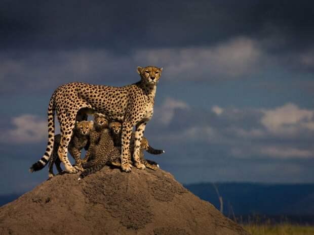 Гепард. Это самое быстрое животное на земле (75 км без напряжения). Его вес составляет 60-75 кг. Гепард способен охотиться на добычу, которая по весу крупе него в несколько раз, однако, его основной целью для пищи являются импалы и газели.