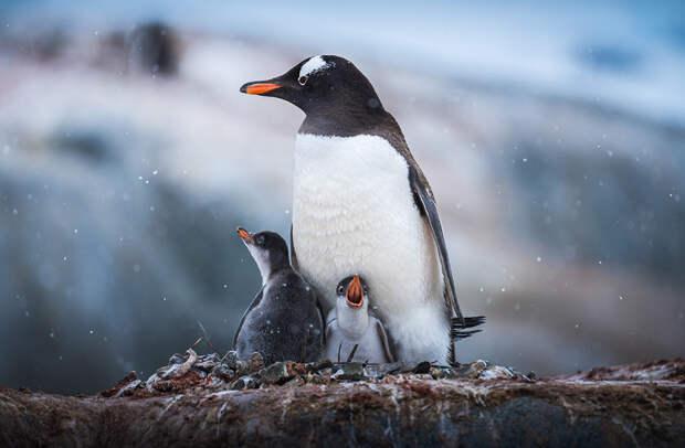 Субантарктический пингвин с птенцами. Малыши появляются на свет в гнезде из камней, травы, мха и перьев и воспитываются обоими родителями по очереди