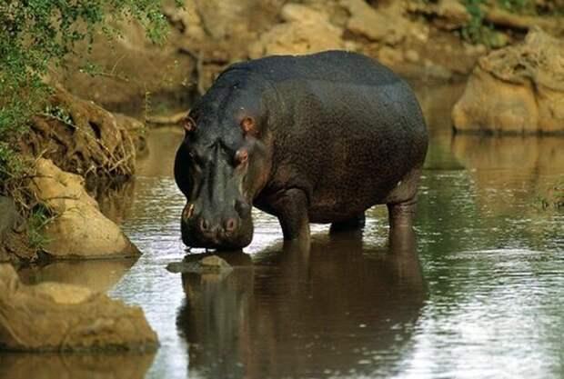 Бегемот. На латыни название обозначает речная лошадь. Бегемот почти всё время проводит в воде, он даже спит в воде. Но бегемот считается родственником свиньи, так как имеет больше общего со свиньями, а не с лошадьми.