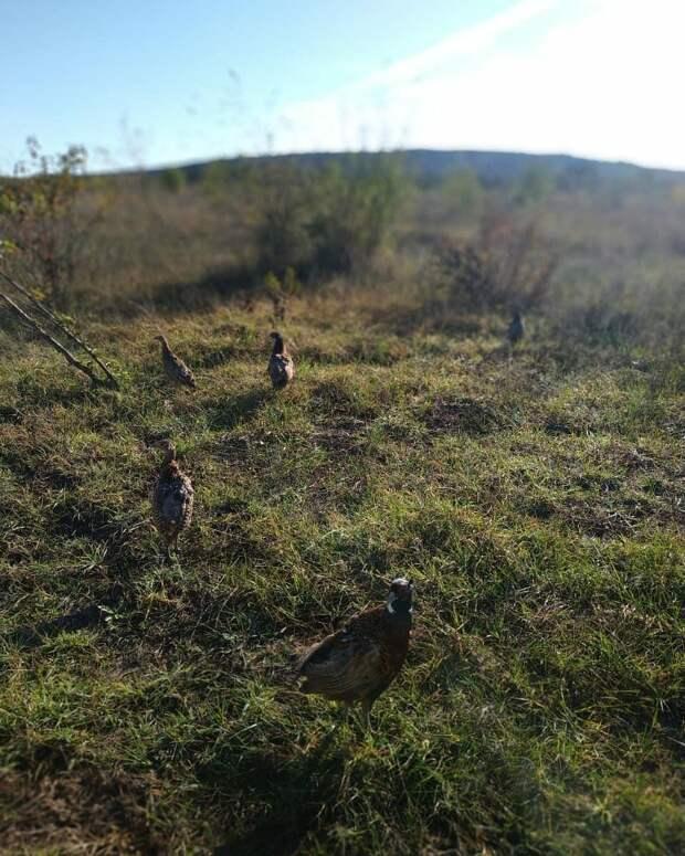 В Крыму для охотников выпустят на волю 750 фазанов