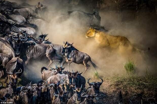 9. Ким Гриффин (Kim Griffin) дикая природа, дикие животные, животные, лучшие фото, львы, подборка, фото, хищники