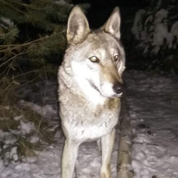 Эта девушка решила помочь брошенному волку. Тогда она еще не знала, как изменится её жизнь