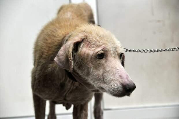 Собаки от голода ели полиэтиленовые пакеты, но их спасли и спустя 4 месяца их не узнать в мире, голод, доброта, животные, люди, собака, спасение